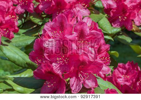 Rhododendron Red Flower