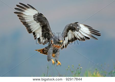 Jackal buzzard (Buteo rufofuscus) landing with outstretched wings, South Africa