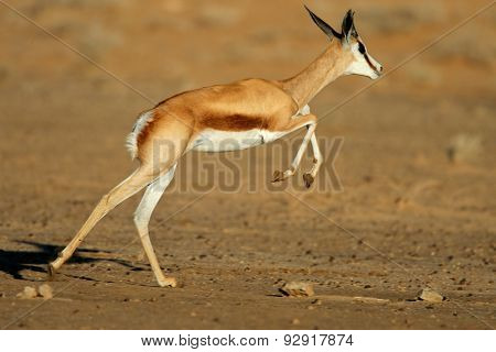 A springbok antelope (Antidorcas marsupialis) in full flight, Kgalagadi desert, South Africa