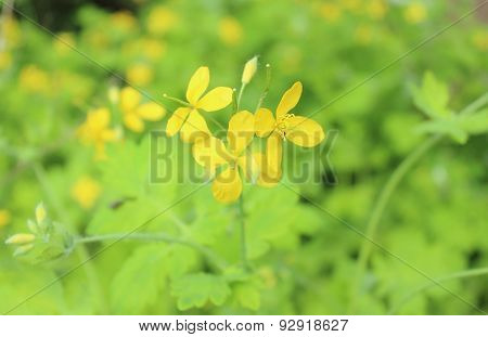 Yellow Celandine In Natural Habitat