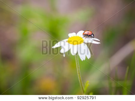Vintage Photo Of Ladybug On Grass