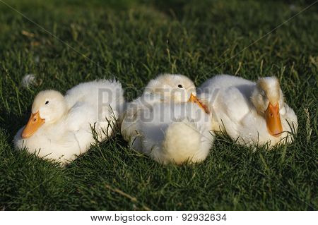 Sweet little ducks.