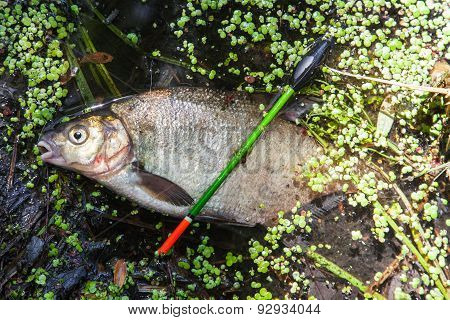 Common Bream (abramis Brama)