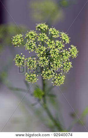 Flower Parsley