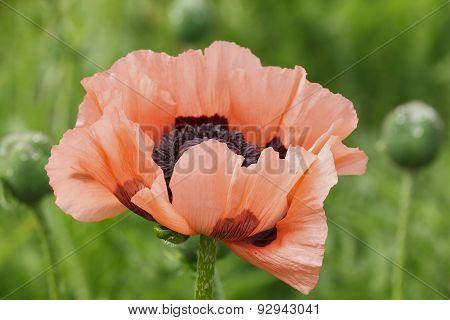 Red Poppy In Garden