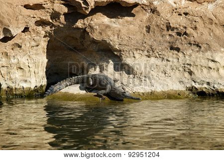A Freshwater Crocodile Rests On The Shore In Geikie Gorge National Park, Western Australia