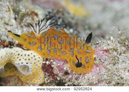 Nudibranch In Ningaloo Marine Park, Western Australia