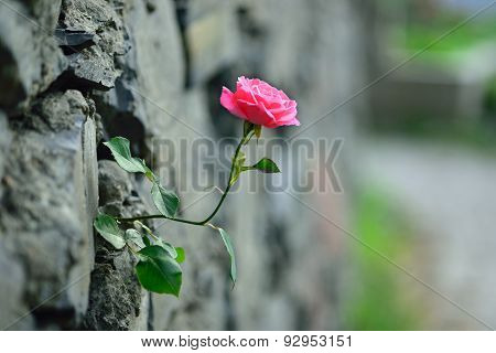 Rose Up Through The Wall