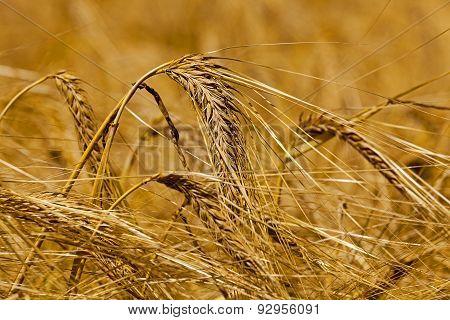 mature cereals