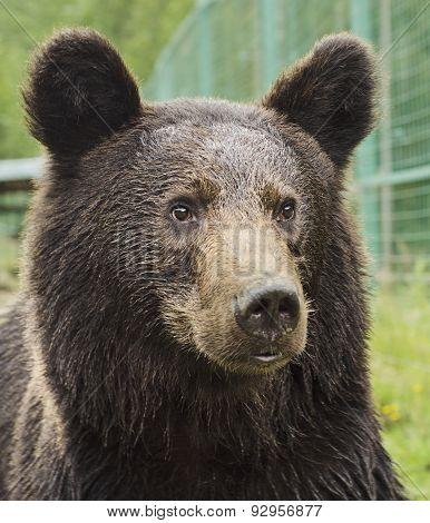 Portrait of a bear in a Zoo