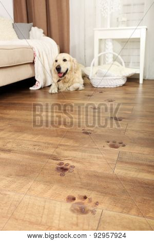 Cute Labrador and muddy paw prints on wooden floor in room