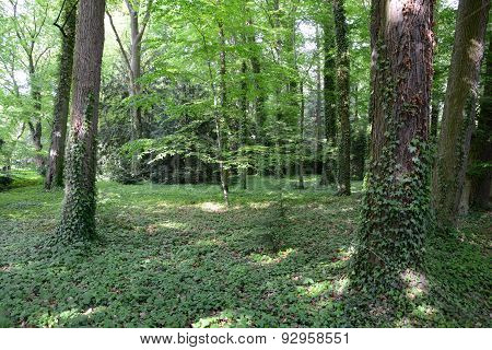 Ivied Trees In Forest