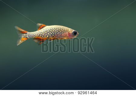 Aquarium Fish. Danio Margaritatus. Copy Space