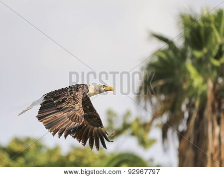 Portrait Of A Bald Eagle In Flight (lat. Haliaeetus Leucocephalus)