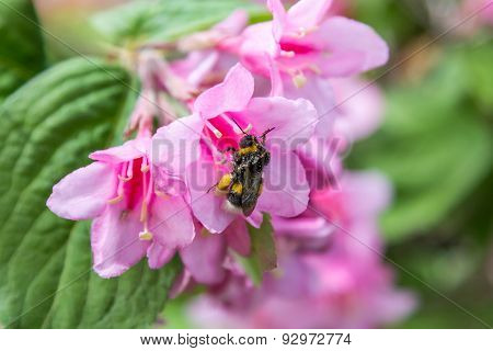 Large Bee Pollinating Pink Flower