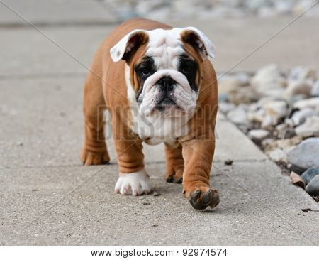 puppy outside walking on a sidewalk - bulldog