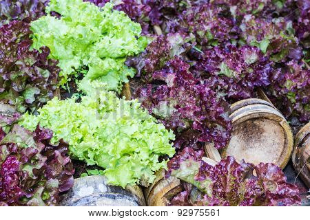 Young Salad Lettuce Growing Outdoors