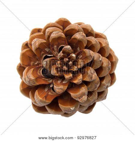 Pinus Pinea, Stone Pine Cone
