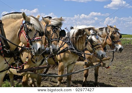 Team of four beautiful horses harnessed