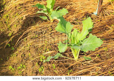 Kohlrabi  Growing In Home Vegetable Garden.