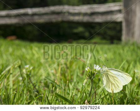 White Butterfly in a Field
