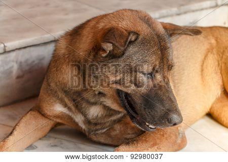 Homeless Brown Thai Dog