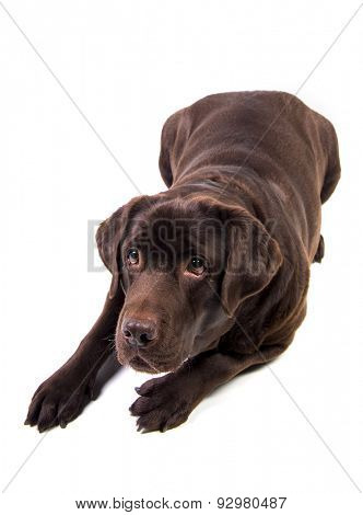 Concentrated and hungry chocolate labrador dog girl is isolated on the white background