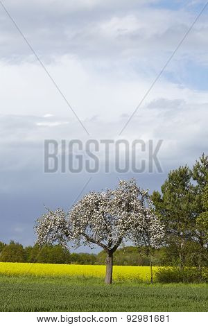 Blooming Fruit Tree In The Sunlight With A Dark Sky