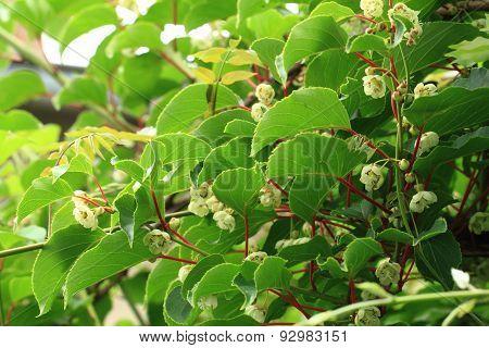 Kiwi Flowers And Plant (actinidia)