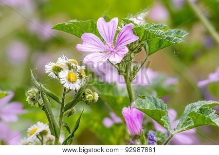 Malva And Chamomile In The Meadow