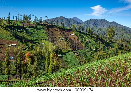 Vegetable crops on the hilly fields. Java, Indonesia