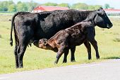 stock photo of teats  - Young calf drinking milk from its mothers teats - JPG