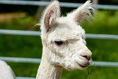 foto of eat grass  - Alpaca  - JPG