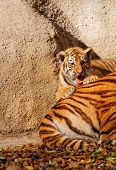 picture of tigers-eye  - The tiger mum in the zoo with her tiger cub  - JPG