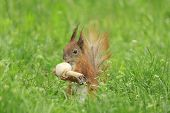 picture of eat grass  - squirrel eating field mushroom in green grass - JPG
