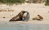 image of lions-head  - A Group Of Sea Lions Near Green Head - JPG