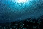 picture of school fish  - A diver under a school of fish in Los Roques - JPG