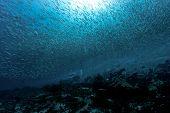 Постер, плакат: Divers and school of fish in Los Roques Venezuela