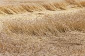 picture of fall-wheat  - wheat field on which the wind broke the wheat - JPG