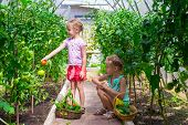 stock photo of root-crops  - Cute little girls collect the crop cucumbers in the greenhouse - JPG