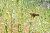 image of sun perch  - A sparrow perched on wild flowers in a meadow under the warm spring sun - JPG