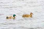 stock photo of male mallard  - Male and female Mallards are swimming on the Dnieper River in Kiev the capital of Ukraine - JPG