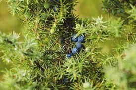 picture of juniper-tree  - Juniper blue berries on the tree - JPG