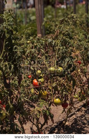 Better boy Tomatoes growing in an organic garden in spring in Southern California.