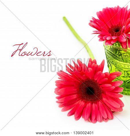 Pink gebera daisy flower over white background