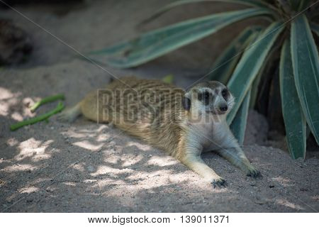 cute Slender-Tailed Meerkats on  Sand in the zoo