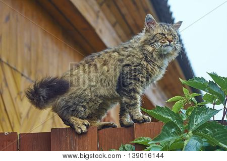angry siberian cat on fence top look down