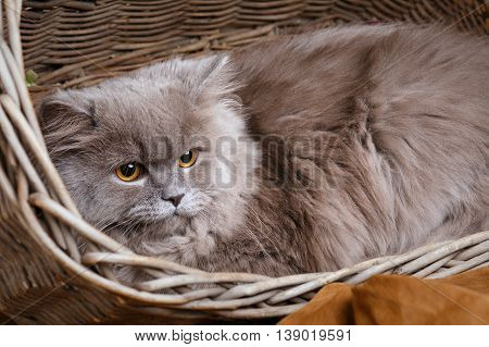 cute gray Scottish long-haired straight cat on a wooden basket