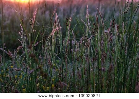 Beautiful wild meadow grass with dew in sunrise