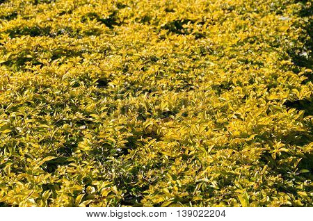 Abstract nature background with yellow and green bush leaves. Natural texture